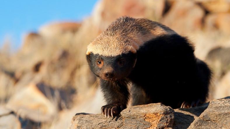Kapıdan Kovsan Bacadan Giren ve 'Dünyanın En Korkusuz Hayvanı' Seçilen Bal Porsuğu Hakkında 11 İlginç Bilgi