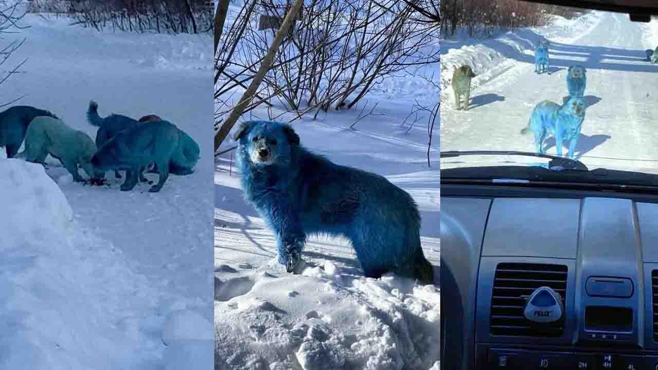 Mavi renkli köpek