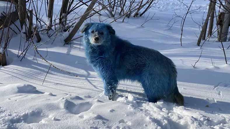 Rusya'da Tüyleri Mavi Rengine Bürünmüş Köpek Sürüsü Bulundu