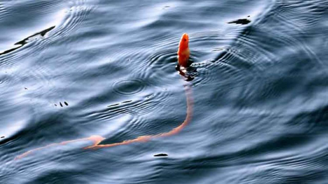 yılan kurdu balığı görüntülendi
