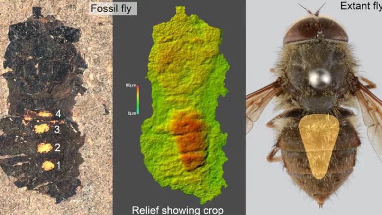 47 milyon yıllık sinek fosili