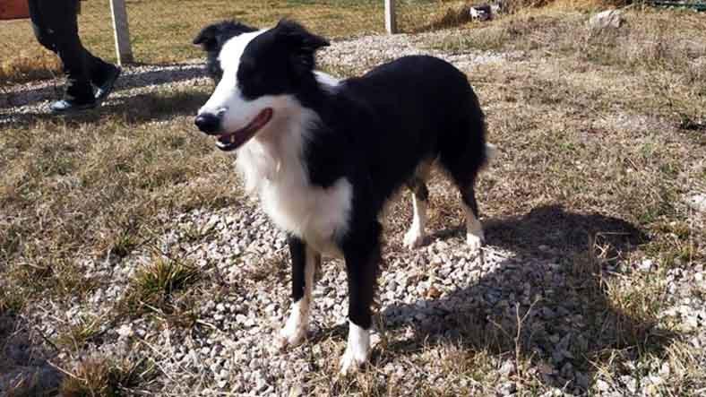 Türkiye'de İlk Kez Koronavirüs Vakalarını Tespit Edebilen Köpek Yetiştirildi