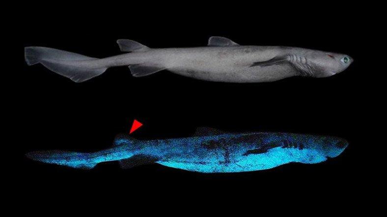 """Yeni Zelanda Açıklarında """"Işık Saçan"""" Dev Köpek Balığı Keşfedildi"""
