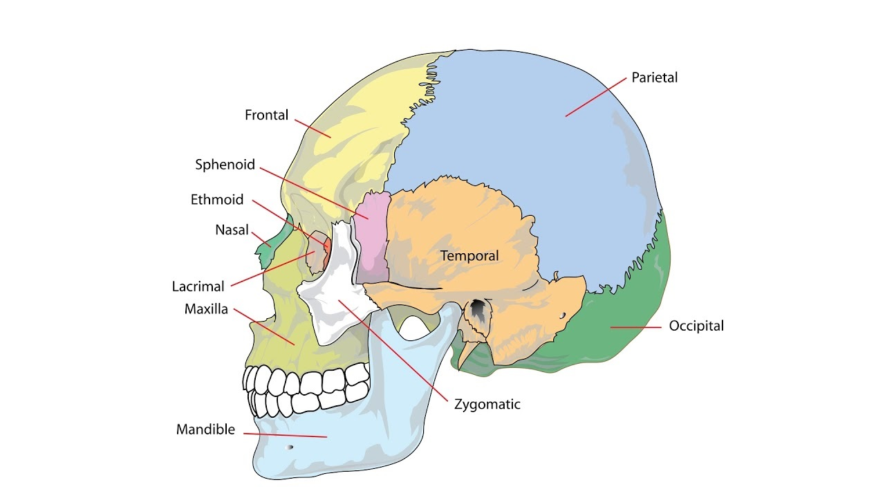 occipital torus