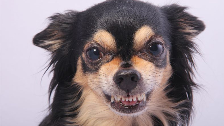 Yeni Bir Araştırmaya Göre Küçük Köpekler, Büyük Köpeklerden Daha Agresif