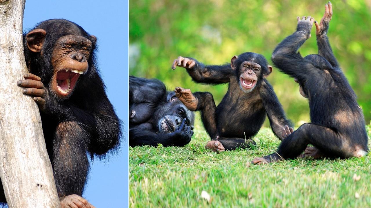 şakalaşan ve gülen şempanzeler