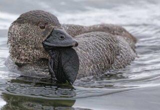 Cici Kuştan Nerelere Geldik: Bir Ördek, İnsanlar Gibi Küfrederken Kayda Alındı [Video]